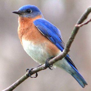uccellino-ramo