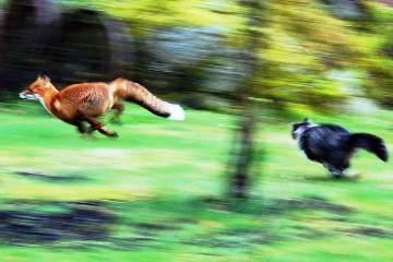 gatto-insegue-volpe