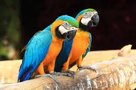 pappagalli-ara