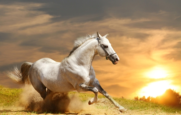 white stallion in sunset