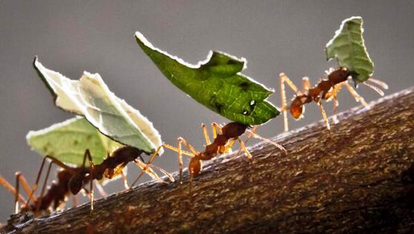 formiche-foglie