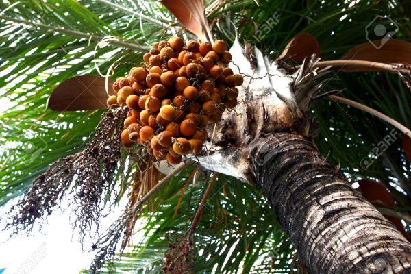 palma-datteri