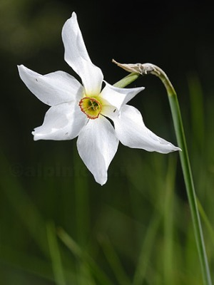 narciso-fiore