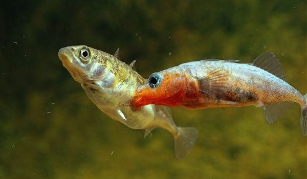 ARKive image ARK009851 - Three-spined stickleback