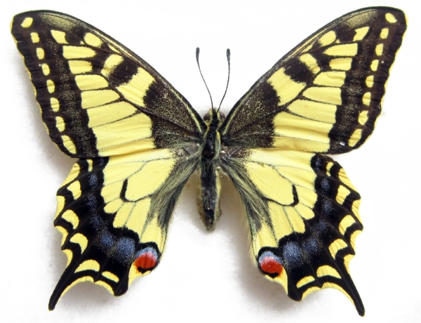 farfalla-grande
