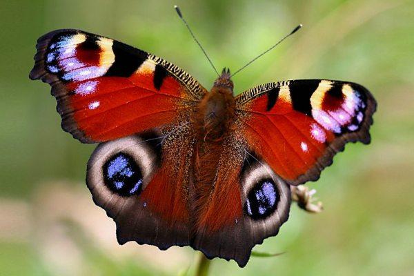 farfalla-oculata