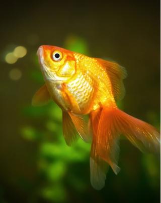 pesce-rosso