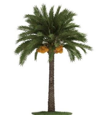 palma-Phoenix-Dactylifera