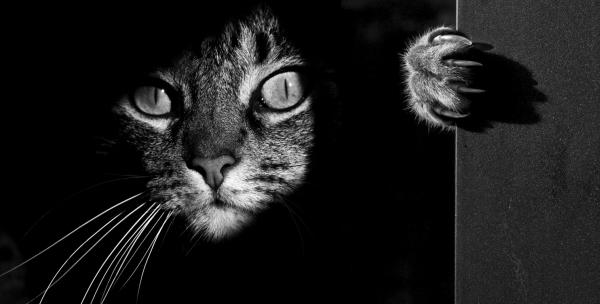 gatto-foto-bw