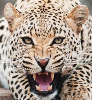 giaguaro-grugno