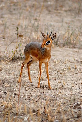 antilope-nana
