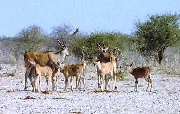 branco-antilopi