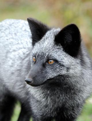 volpe-argentata