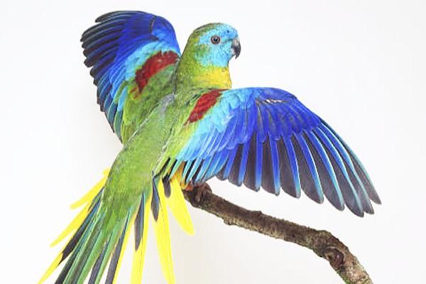 piumaggio-pappagallo