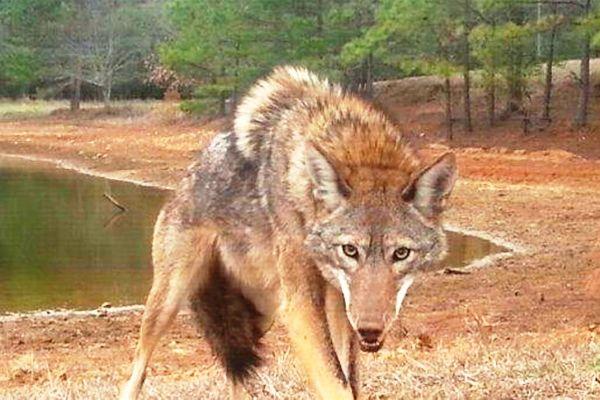 coyote-sete