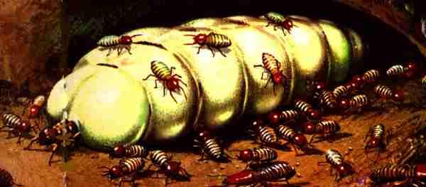 termite-regina