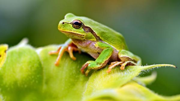 rana-verde