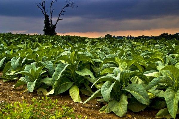 tabacco-piantagione