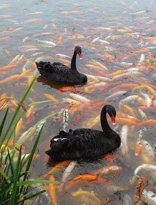 anitre-pesci