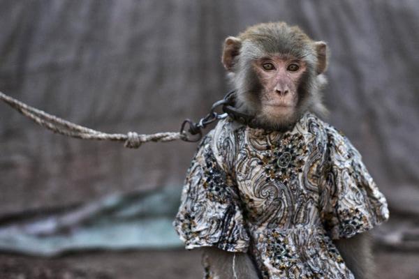 scimmia-catene