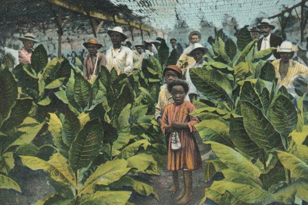 Sumatra-piantagione-tabacco