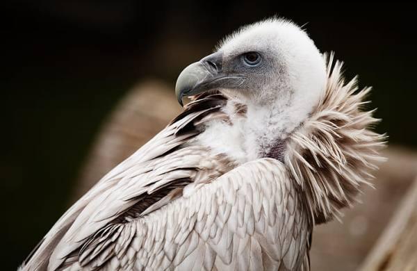 avvoltoio-bianco-reale