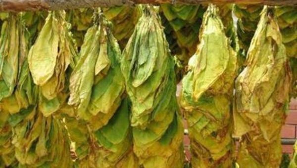 foglie-tabacco