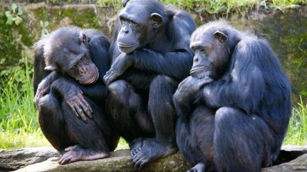 scimmie-scimpanzè