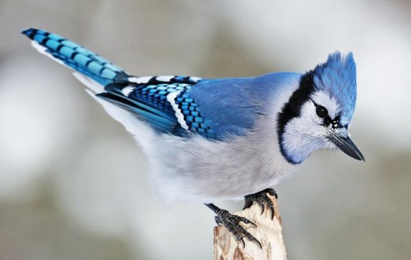 ghiandaia-azzurra-large