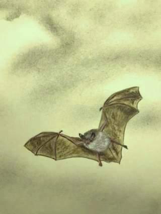 pipistrello-volo