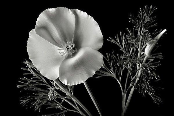 papavero-bianco