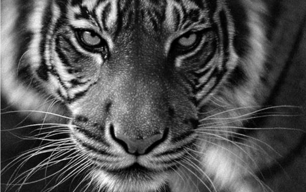 tigre-bw