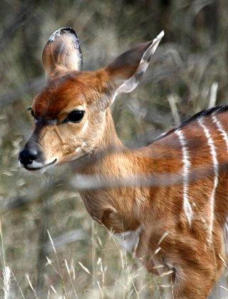 antilope-nyala