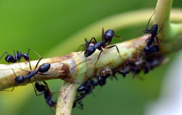formiche-nere
