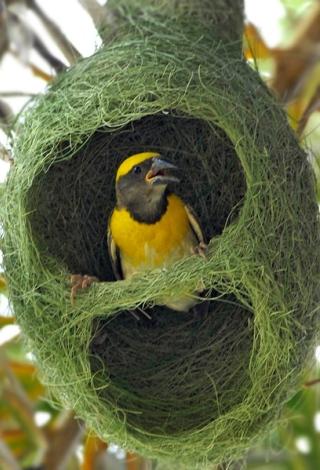 nido-uccello-tessitore