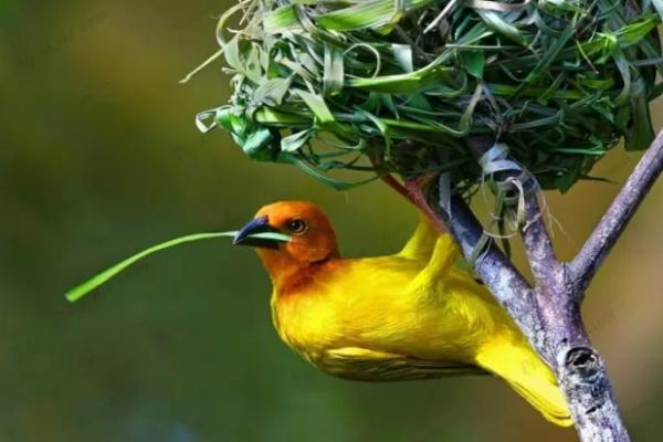 uccello-tessitore-giallo